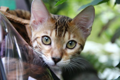 cat stare eye