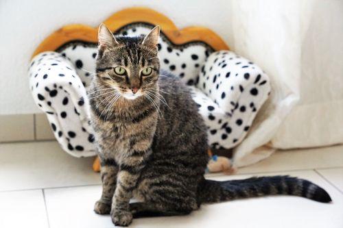 cat tiger tigerle