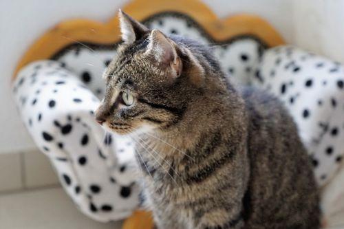 cat tiger animal