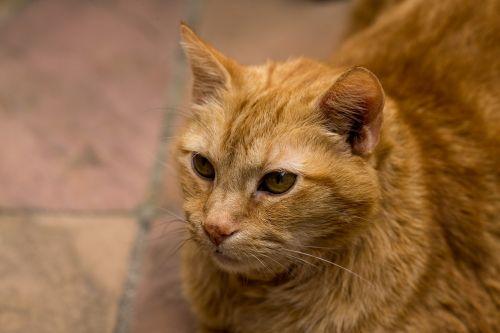cat pets red tomcat