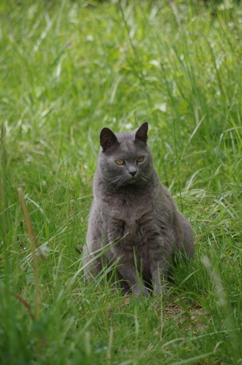 cat carthusian pets
