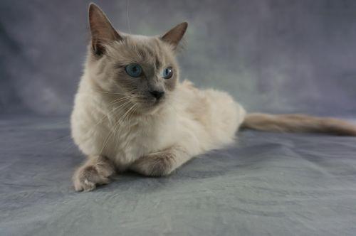 cat ragdoll kitten