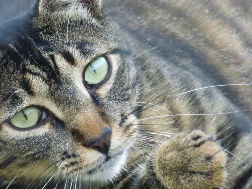 katė,europietis,gyvūnas,kačių,tabby,naminis gyvūnas,kačių akys,fart,akys,matou,europietis katinas,latakai