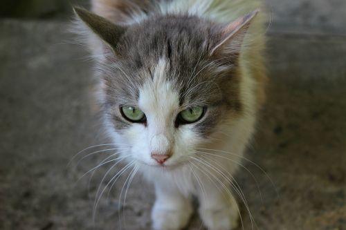 cat look animal