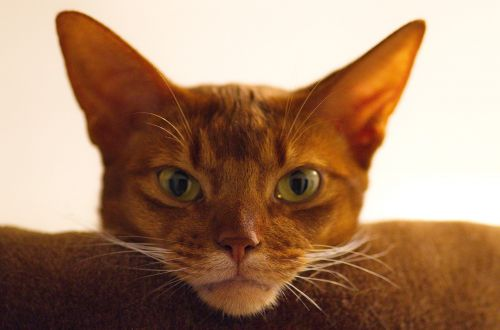 cat abyssinian cat's eyes