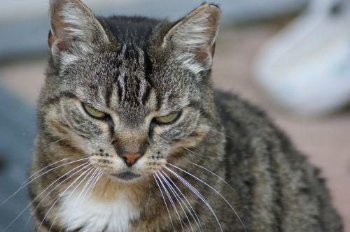katė,pavargęs,naminis gyvūnėlis,naminis katinas,skumbrė,lazing aplink
