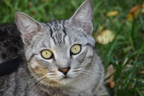 cat feline portrait