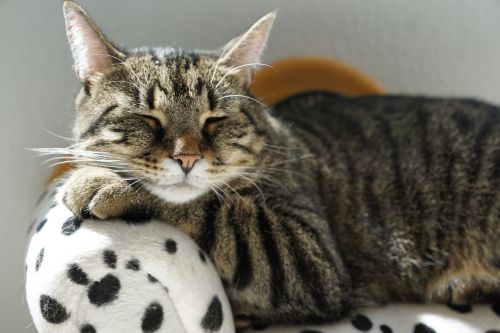 cat tiger rest
