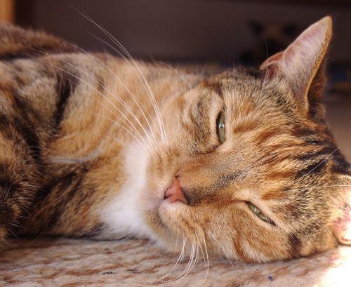 cat sissi female