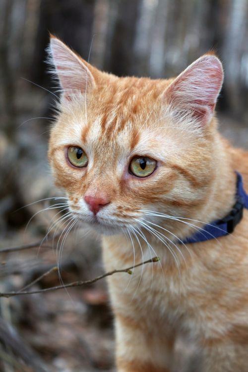 cat red-headed cat red cat