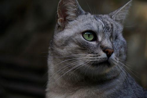 cat domestic cat felis silvestris catus