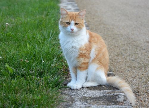 cat white roux feline