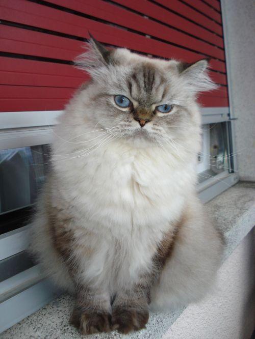 katė,persų,mėlynos akys,geras žvilgsnis