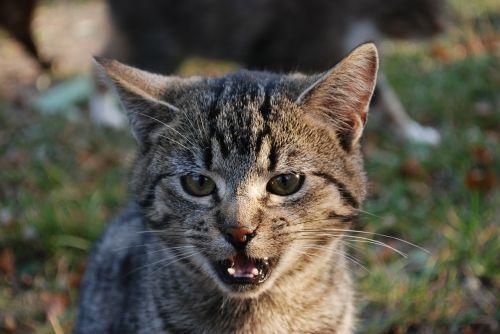 cat małczy tomcat