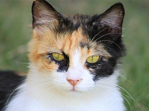 katė,naminis katinas,katės portretas,kačiukas,portretas,kačių portretas,gyvūnas,naminis gyvūnėlis,draugas,gyvūnų pasaulis