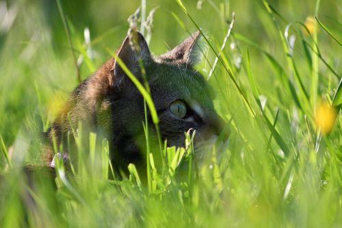 cat lauer tiger cat