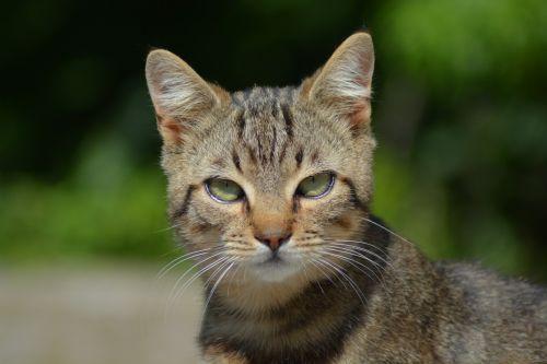 cat green eyes feline