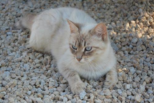 katė,pussy,pailginti,naminis gyvūnas,kačių,katė guli,holas,ramus,atrodo,mėlynos akys