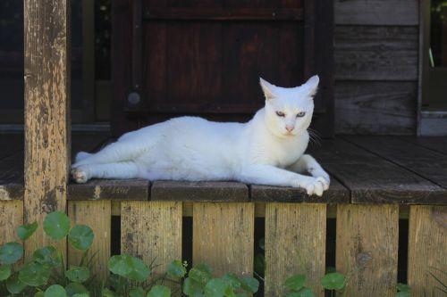 cat the white temple okinawa prefecture
