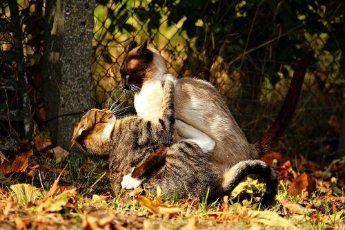 cat fight tussle