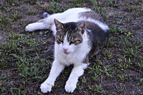cat tabby domestic cat