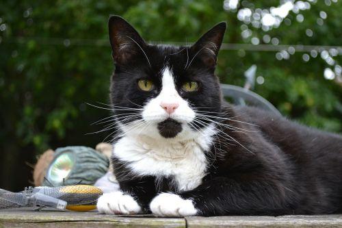 cat feline black