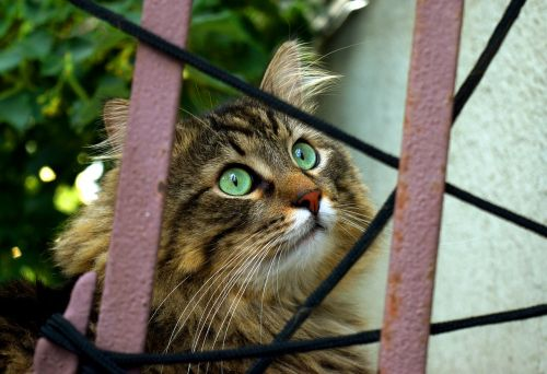 cat behind fence curious