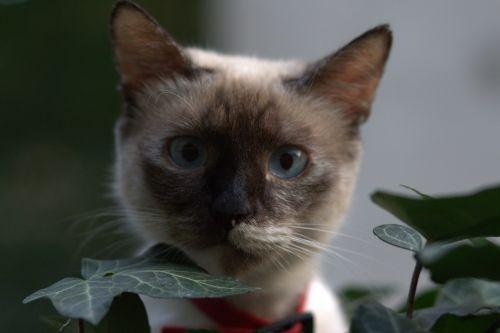 cat burmese blue eyes