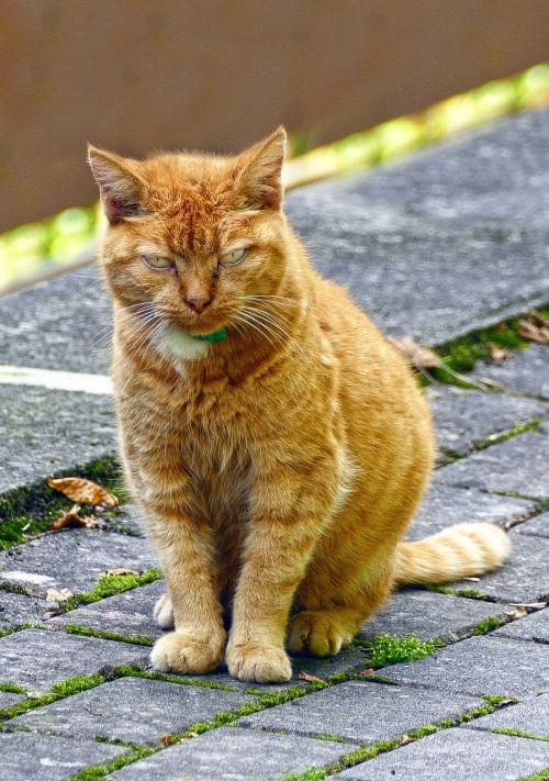 cat pet red mackerel tabby
