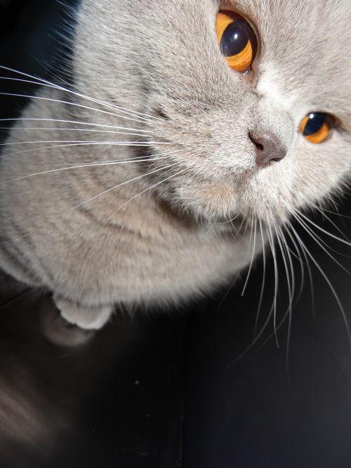 cat grey feline