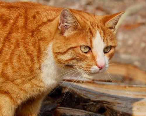 cat mackerel red mackerel tabby