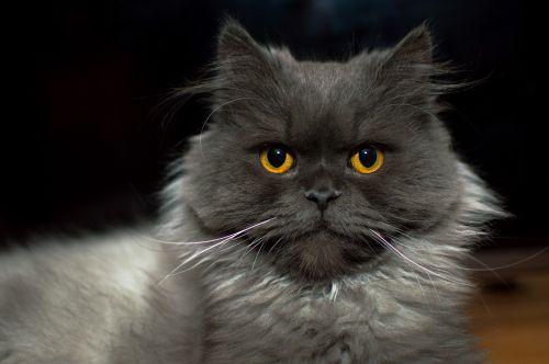 cat kitten meows