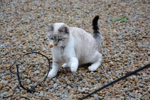 katė,kačiuko žaidėjas,žaisti,mielas,gyvūnas,petit,kačių,naminis gyvūnas,mėlynos akys,mielas kačiukas