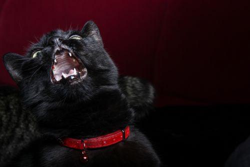 cat pet black
