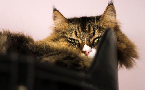 cat siberian the head of a cat
