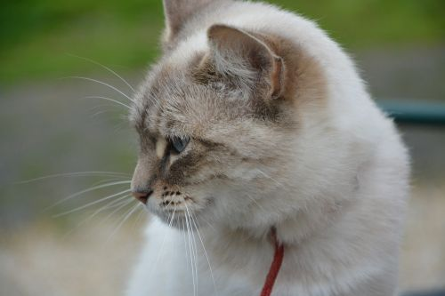 cat profile head cat domestic animal