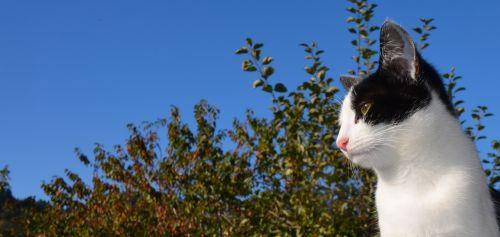 cat pet black and white cat