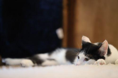 cat,animal,pet,cute cat,young cat,domestic cat,cat's eyes,sleep,small cat,portrait