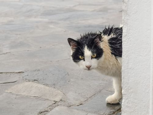 cat stray wet