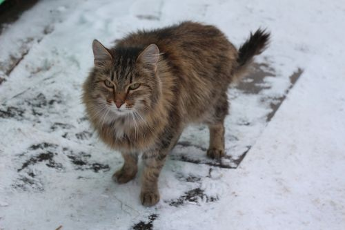 cat siberian cats snow