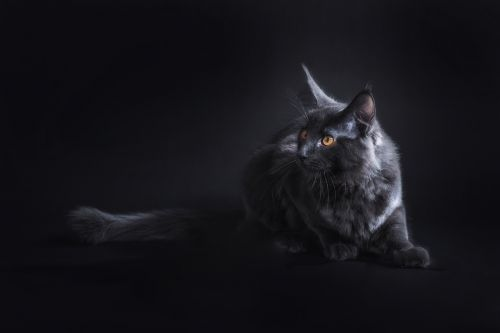 cat black pet