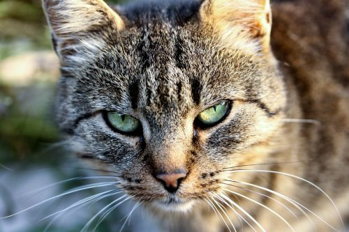 cat tabby cat eye