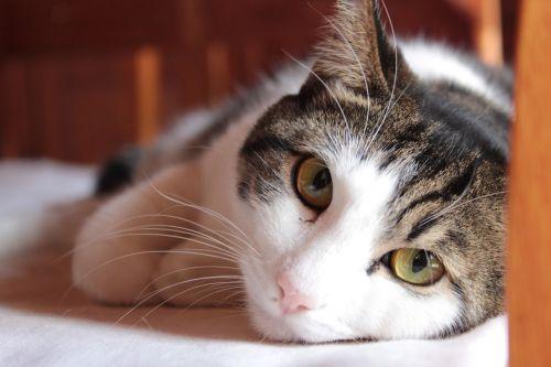cat animal domestic