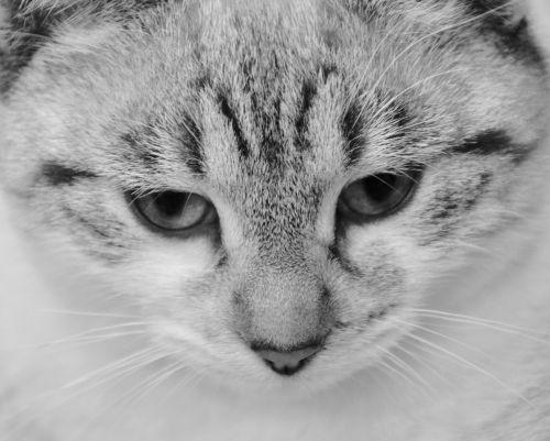cat photo black white domestic animal