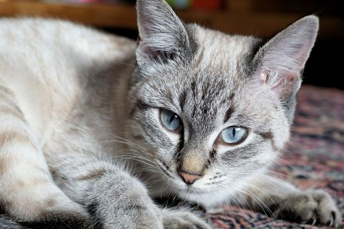 cat domestic cat kitten