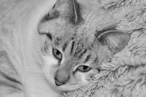 cat young cat photo black white