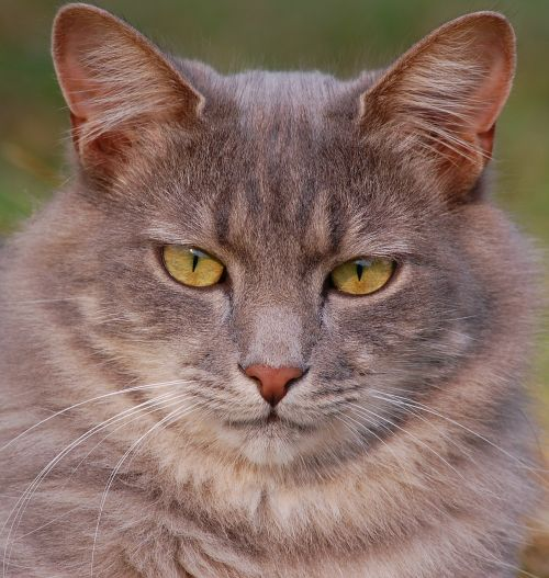 cat feline pet