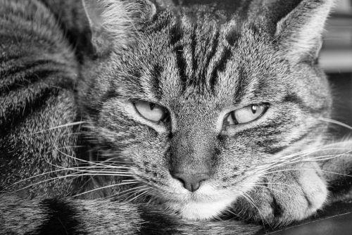 cat tiger sleepy