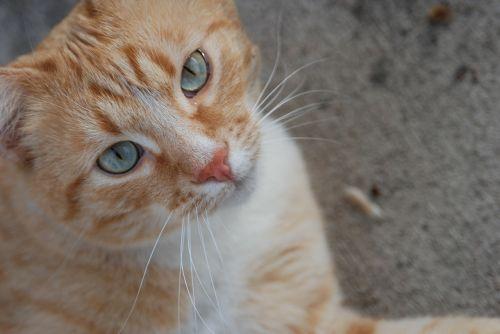 cat pet orange tabby