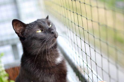 cat black cat a normal cat